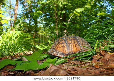 Box Turtle (Terrapene carolina)