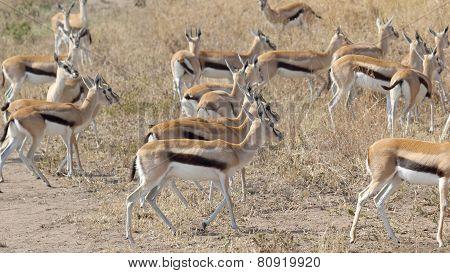 Herd Of Walking Thomson's Gazelles