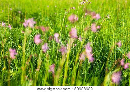 Ragged Robin (Lychnis flos-cuculi) flowers in the green summer meadow poster