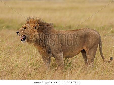 Malicious lion