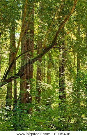 Sunglow Through The Redwoods