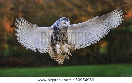 Landing Snowy Owl