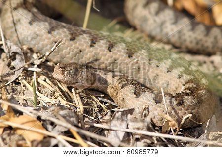Camouflage Of A Large Ammodytes Female
