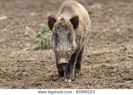 Wild Boar Coming Towards The Camera