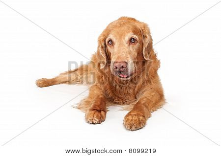 Old Golden Retriever Dog Isolated On White