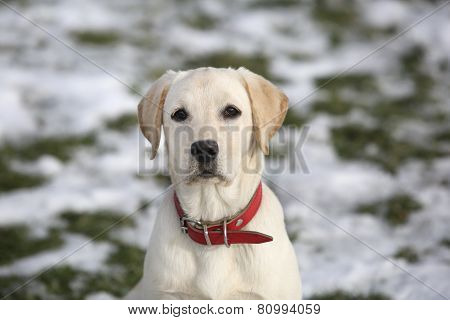 Labrador Retriever Puppy In Yard On Winter Looking At Camera