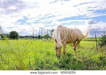 Palomino Horse In Farm Pasture