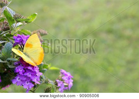 Yellow Butterfly On Purple Flowers Background