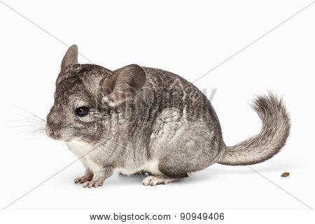 Chinchilla In Profile View And Her Poo On White