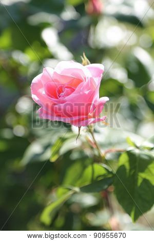 Pink Rose Just Blossomed In May