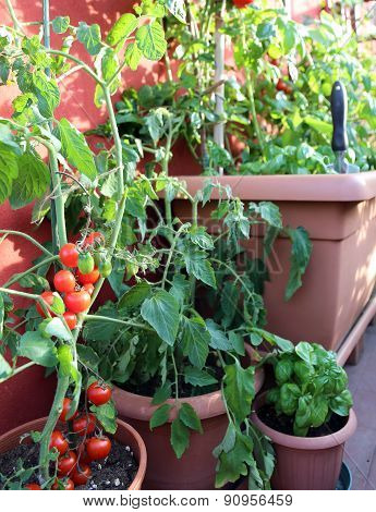 red tomatoes and green basil plant in the terrace of house poster