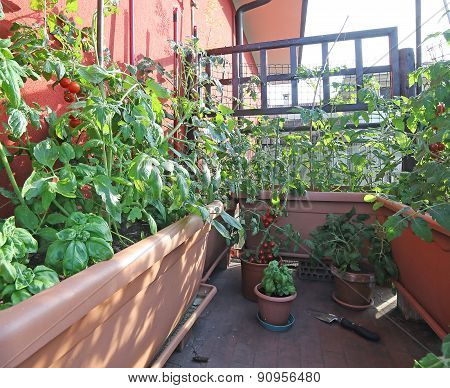 Urban Vegetable Garden With Large Pots On The Terrace