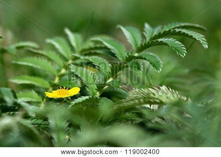 Silverweed (Potentilla anserina)