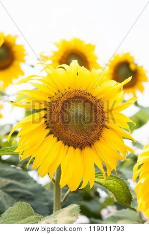 Beautiful Sunflower With Natural Background