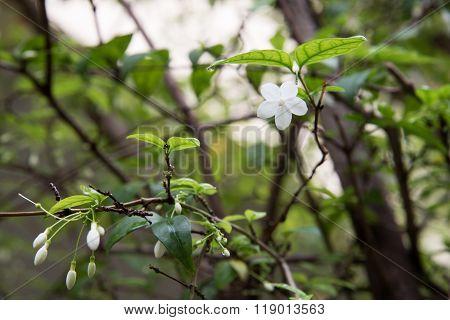 Orang Jessamine flower in garden ,blur background