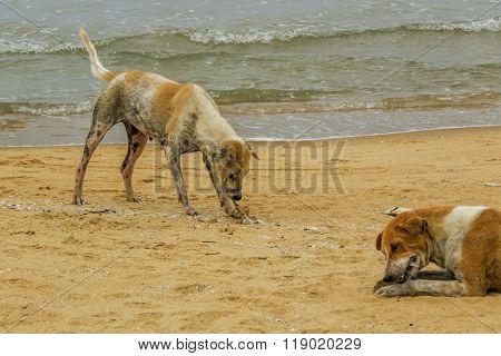 poor mangy dog on the beach in Sri Lanka