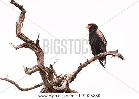 Bateleur In Dead Tree