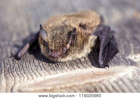 Nathusius' Pipistrelle Pipistrellus Nathusii Bat