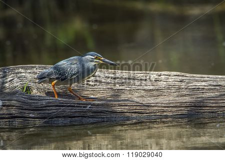 Green-backed Heron In Kruger National Park, South Africa