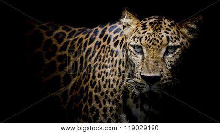 Closeup Leopard portrait look on black color background