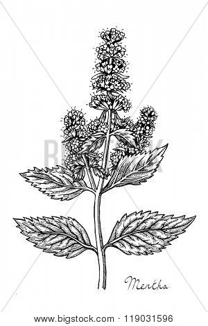 Peppermint herb with leaves and flowers, hand drawn vector illustration