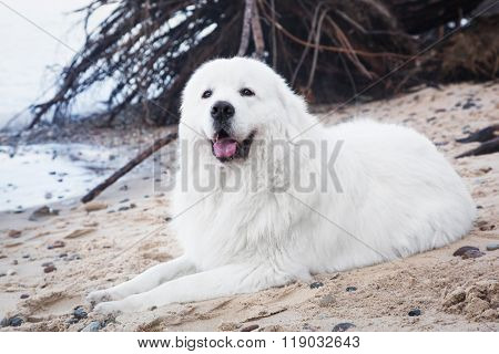 Polish Tatra Sheepdog. Role model in its breed. Also known as Podhalan or Owczarek Podhalanski