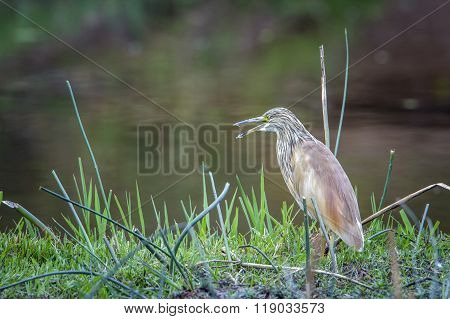 Squacco Heron In Kruger National Park, South Africa