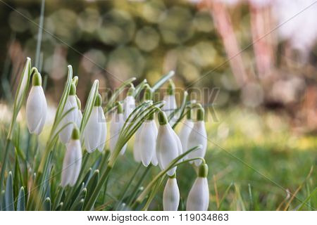 Snowdrops, early bloomers
