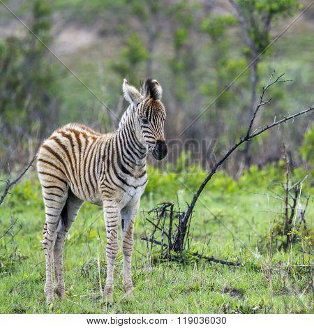 Plains baby Zebra In Kruger National Park, South Africa