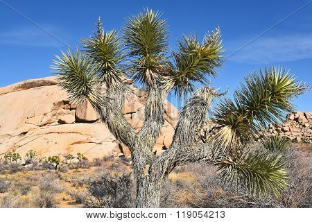 Closeup of a Joshua Tree in front of a rock formation in Joshua Tree National Park.