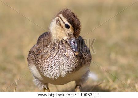 Mallard Duckling (anas Platyrhynchos)