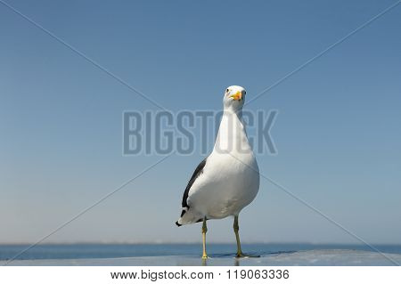 Kelp Gull standing on rooftop from boat.