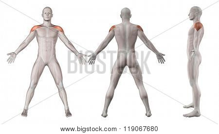 3D render showing showing male figure with deltoid muscles highlighted