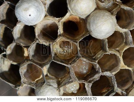 The Larvae In Honeycombs Hornet's Nest.