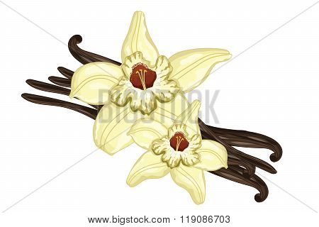 Vanilla sticks or pods with vanilla flower on white background. Isolated vanilla sticks vector illustration. Cartoon vanilla flower and vanilla pod. Vanilla bean isolated.