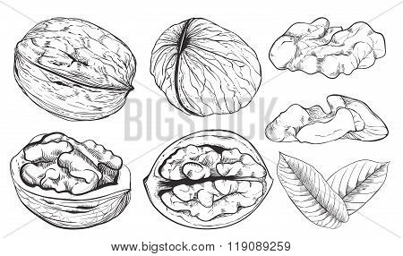 Vector walnut on white background. Isolated nuts.
