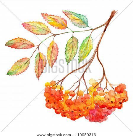 Watercolor Rowan Ashberry Leaf Branch Botanical Illustration Isolated