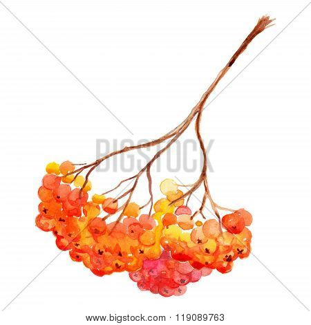 Watercolor Rowan Ashberry Branch Botanical Illustration Isolated