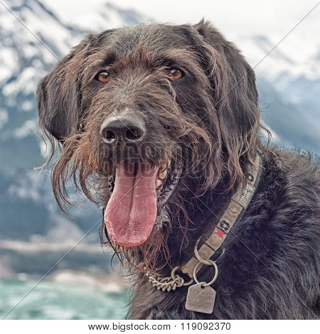 Labradoodle Portrait In The Mountains