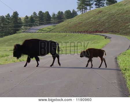 Mother Bison And Baby