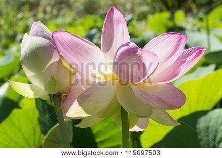 Two Nelumbo Nucifera, Sacred Lotus