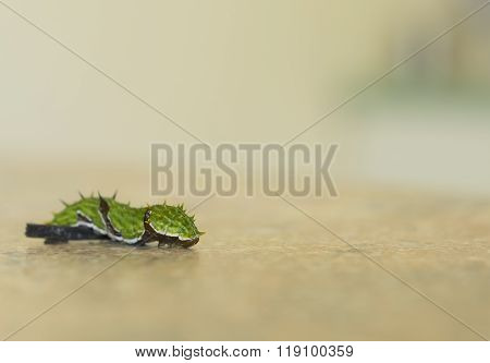 Citrus Swallowtail Caterpillar Crawling Over Obstacle With Copy Space