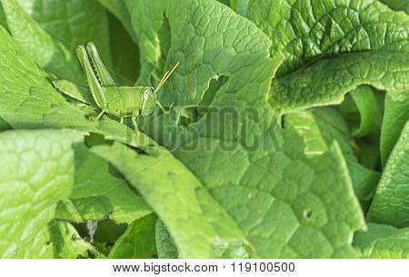 Green Grasshopper On Comphrey Leaves