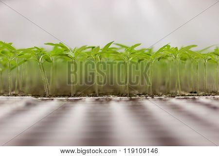 Tomato seedlings Solanum lycopersicum CFL grow light HPS grow light