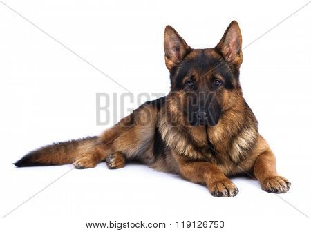 German shepherd on a white background