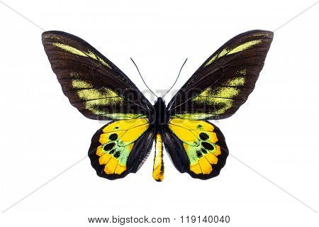 Beautiful colorful butterfly with black and yellow wings isolated on white. Ornithoptera Rothschild's birdwing.