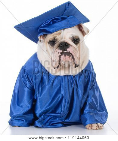 obedient english bulldog wearing graduate gown and hat