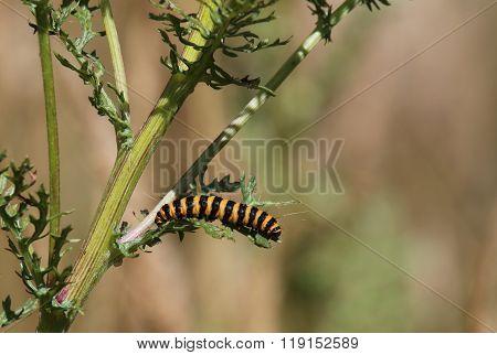 Cinnabar moth (Tyria jacobaeae) Caterpillar