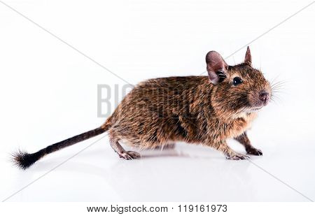 Young curious rodent degu isolated on white