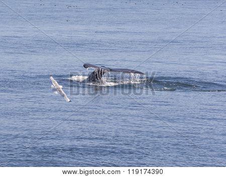Humpback Whale Flukes Heading Down